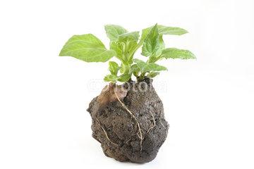 yacon-plantje